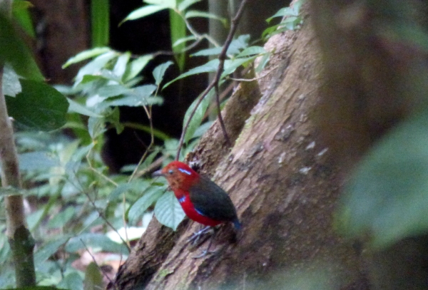 P1120091 Blue-banded Pitta2
