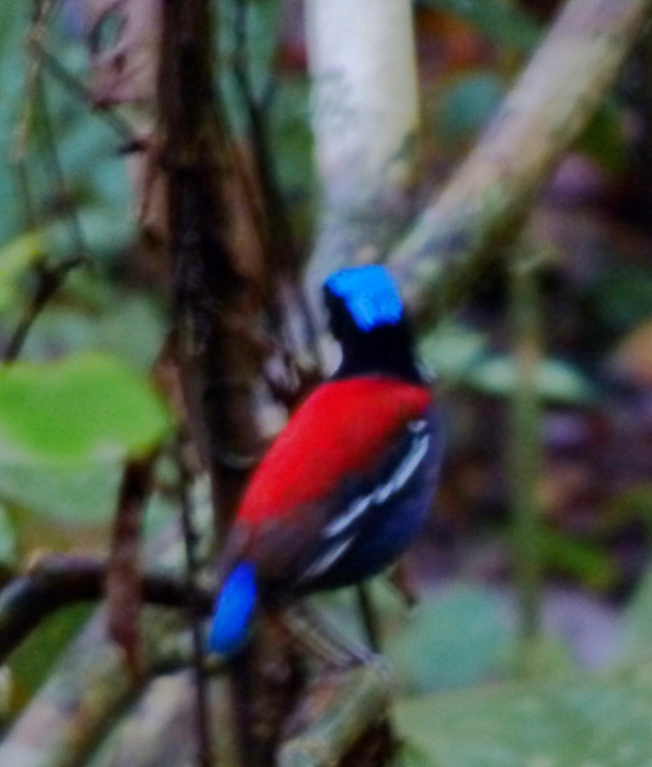 P1120146 Blue-headed Pitta