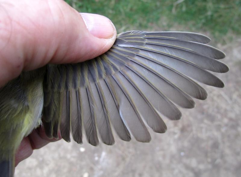 IMG_0022 Wilwa abberant wing