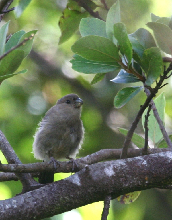 IMG_4990 Azores Bullfinch juv