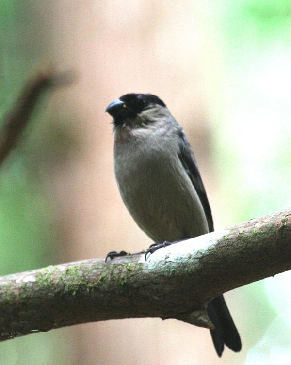 IMG_5000 Azores Bullfinch