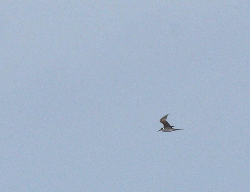 IMG_5148 Sooty Tern best