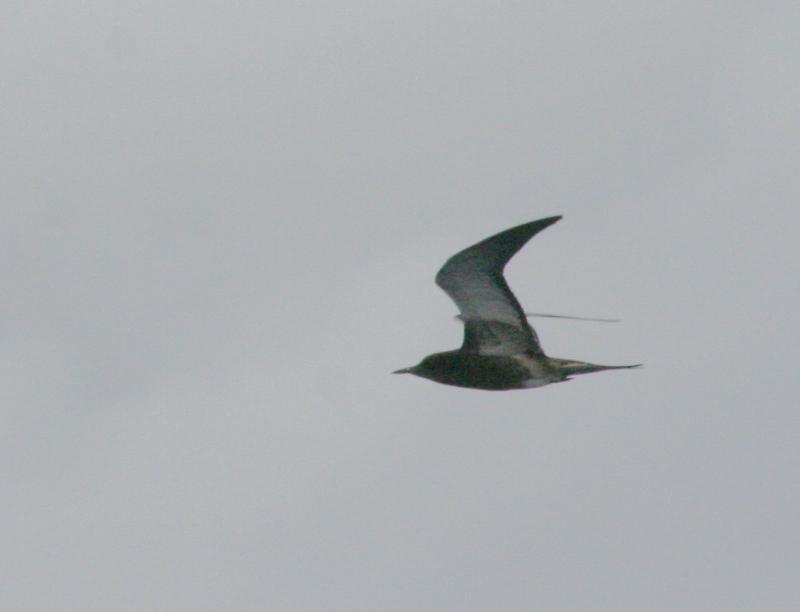 IMG_5201 Sooty Tern