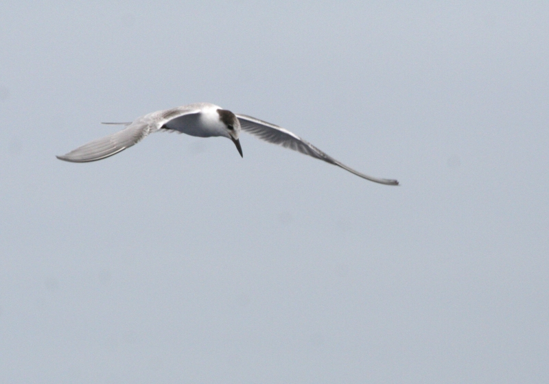 IMG_5624 Common Tern