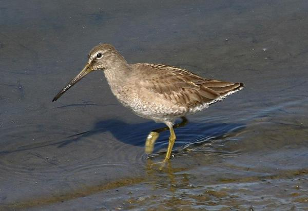 SB Dowitcher California Peter Vercruijsse