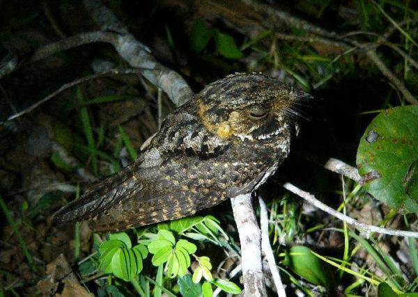 Yucatan_Nightjar_Paul Willoughby Chan Chin Belize