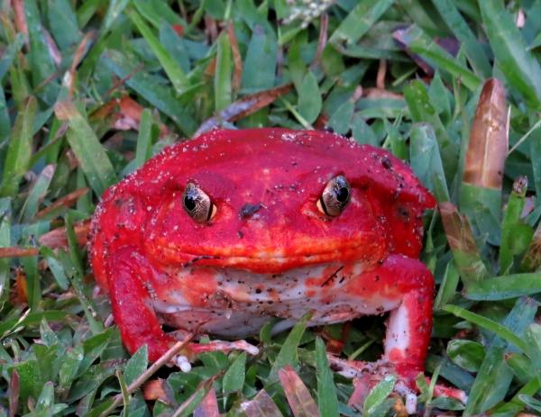 IMG_0241 Tomato Frog
