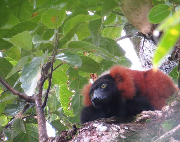 IMG_0346 Red Ruffed Lemur