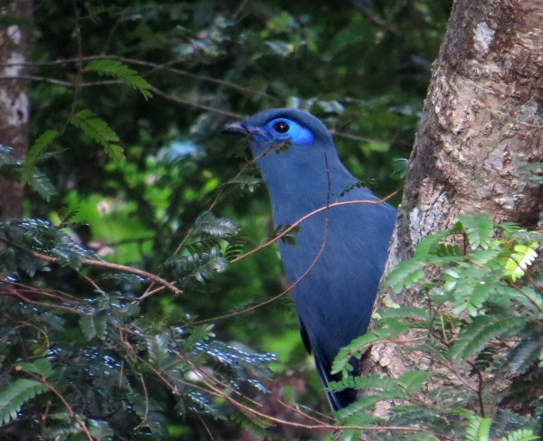 IMG_0462 Blue Coua