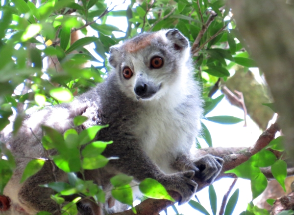IMG_0602 Crowned Lemur
