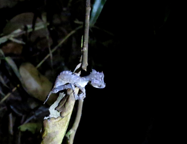 IMG_0738 Satanic Leaf-tailed gecko