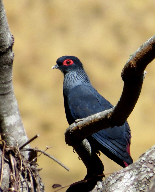 IMG_0766 Mad Blue Pigeon