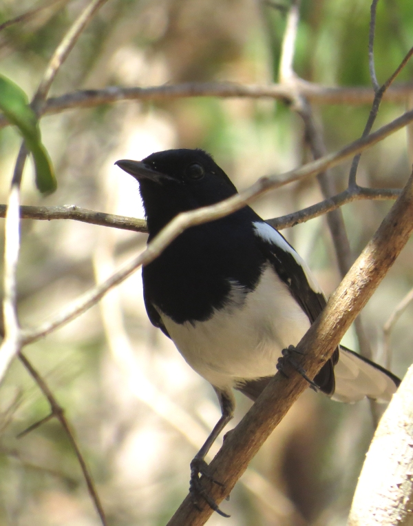 IMG_0960 Mad Magpie Robin