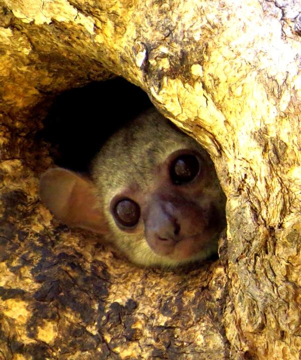 IMG_0973 Lemur toID