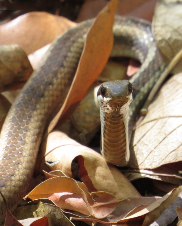 IMG_0977 snake to ID