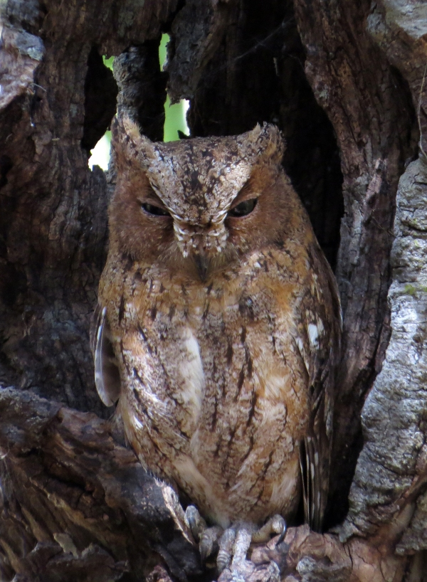 IMG_0985 Torotoka Scops Owl