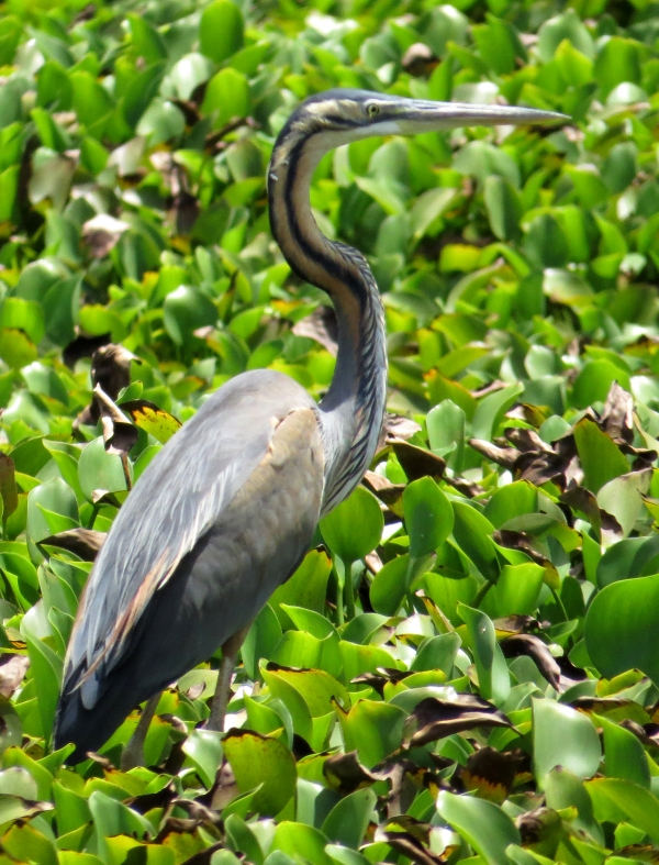 IMG_1035 Purple Heron