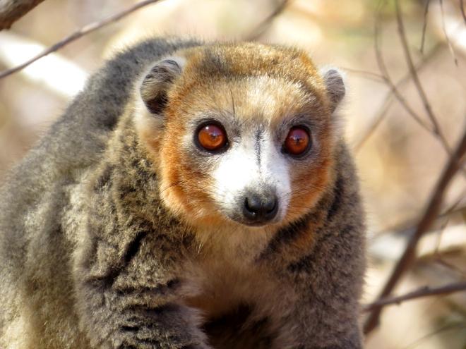 IMG_1077 Mongoose Lemur