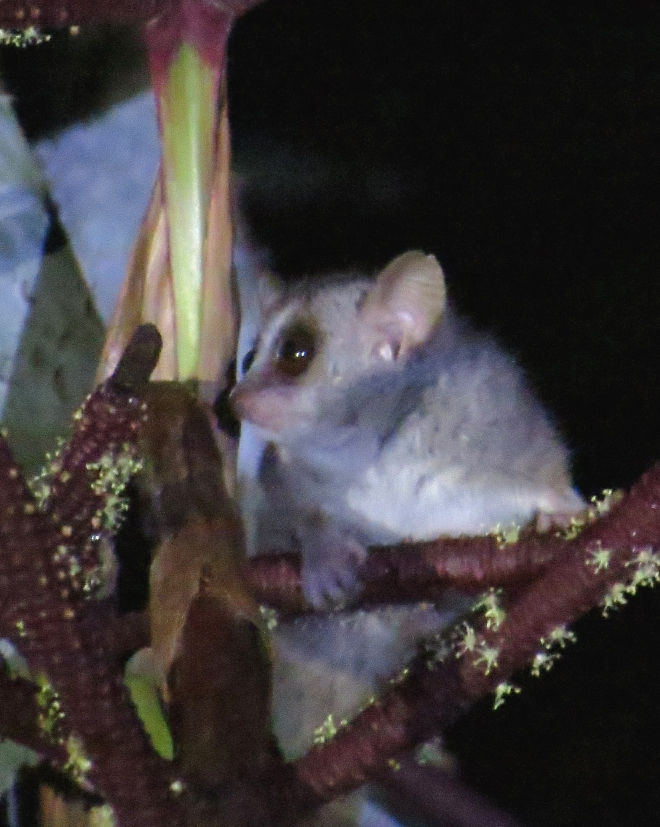 IMG_1292 Grey Mouse Lemur
