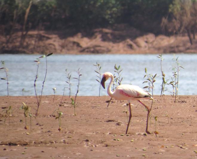 IMG_1367 Lesser Flamingo