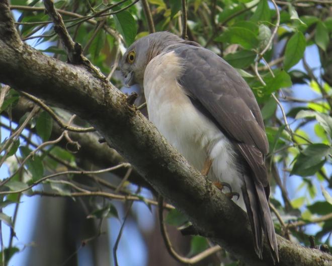 IMG_1440 France's Sparrowhawk