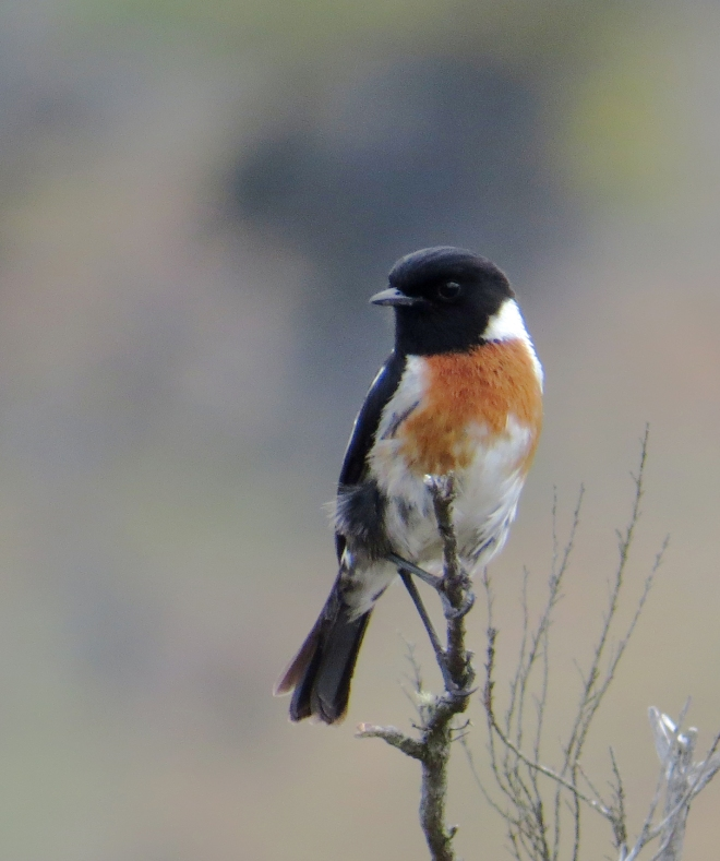 IMG_1499 African Stonechat