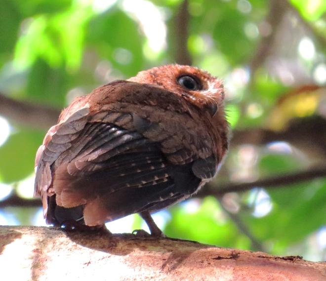 IMG_1620 Moheli Scops-owl