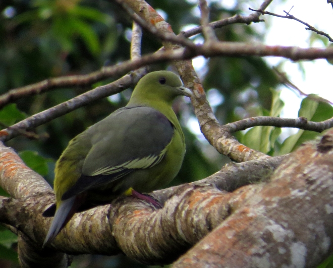 IMG_1650 Comoros Green Pigeon