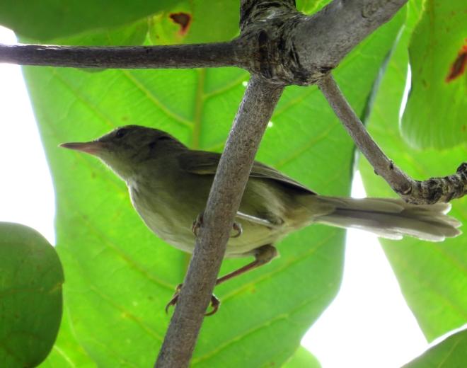 IMG_1678 Anjouan Brush Warbler