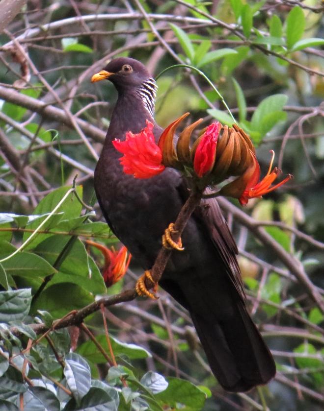 IMG_1715 Comoros Olive Pigeon