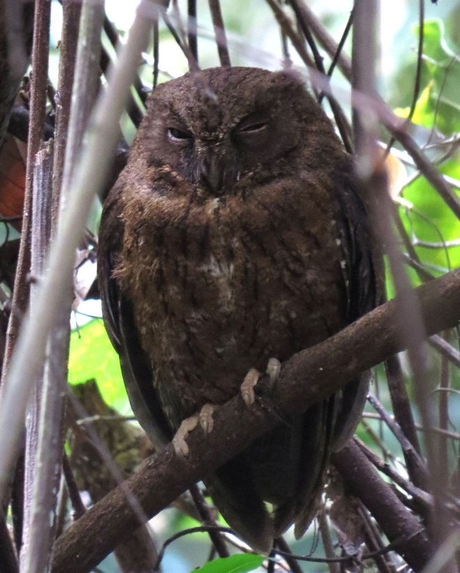 IMG_1735 Mayotee Scops Owl