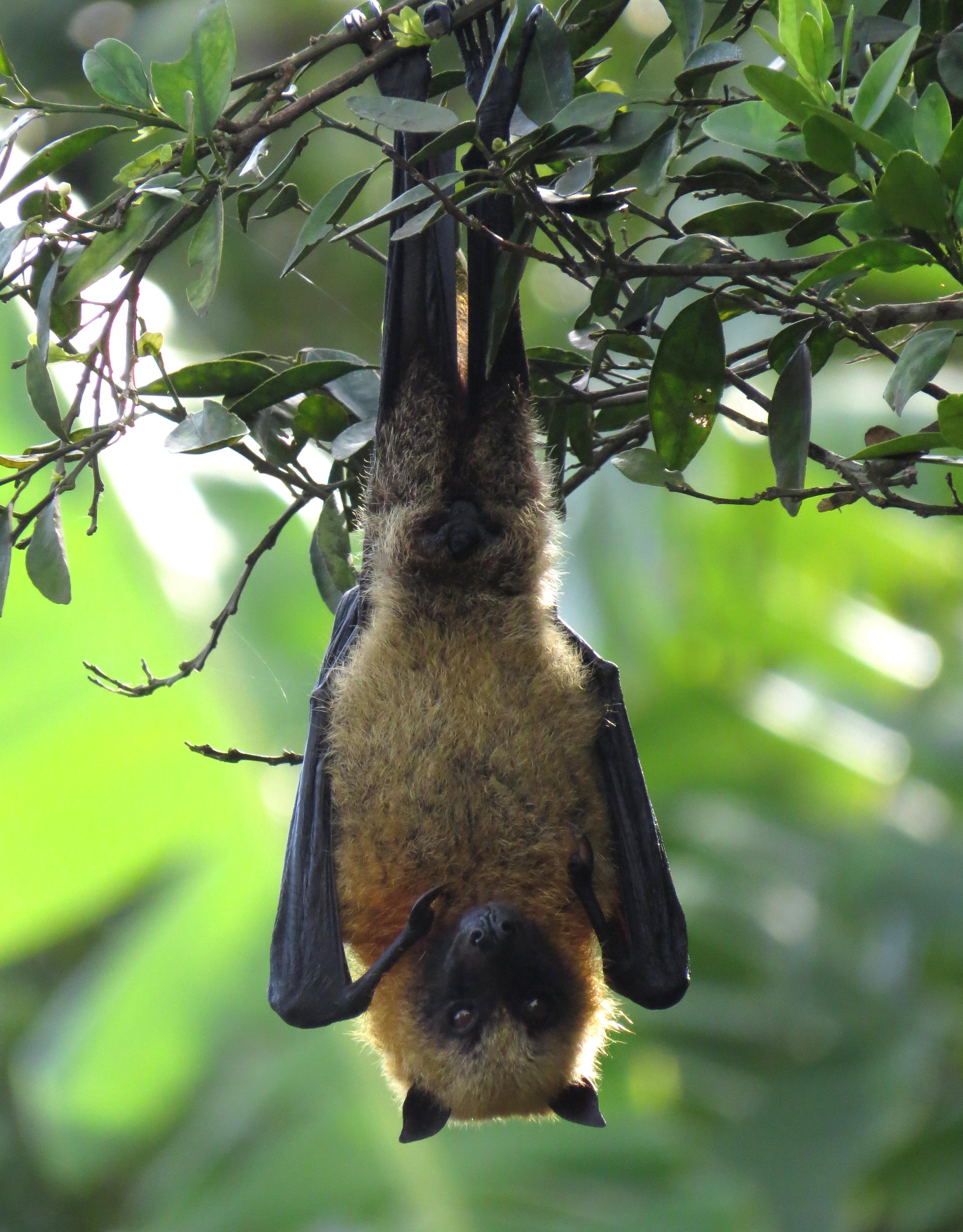 fruit bat fruit picking