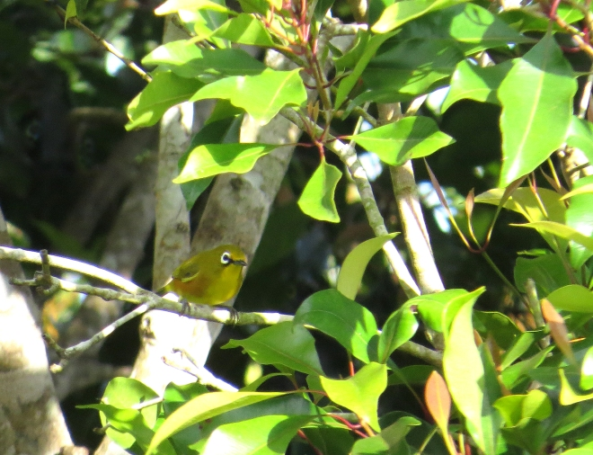 IMG_1746 Mayotte White-eye