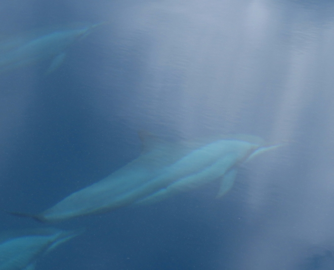 IMG_1775 Spinner dolphins