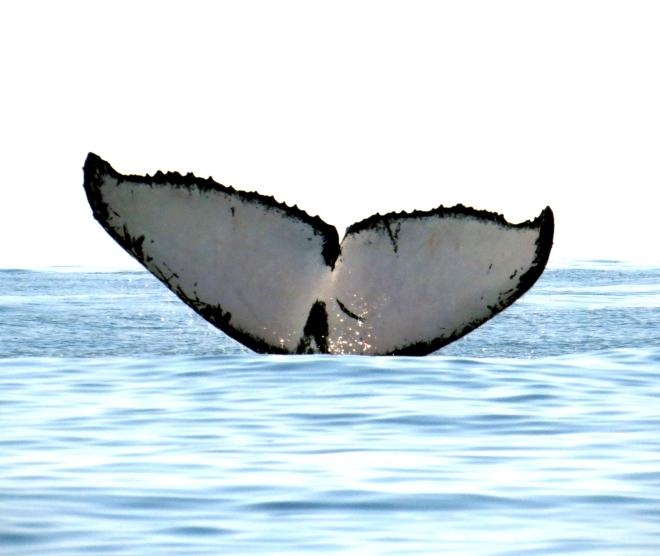 IMG_1901 Humpback Whale