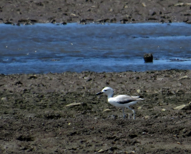 IMG_1965 Crab Plover