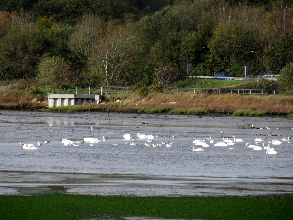 IMG_1977 Holes Bay Mute Swans