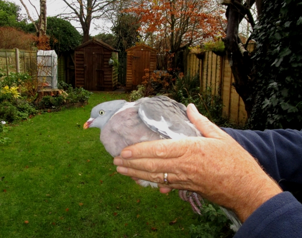 IMG_1317 Woodpigeon