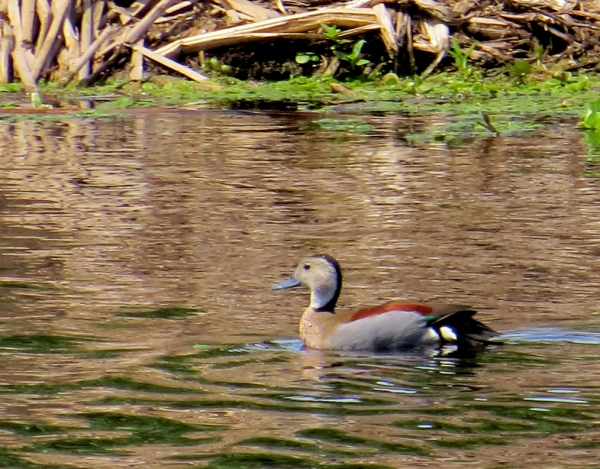 IMG_1980 Ringed Teal