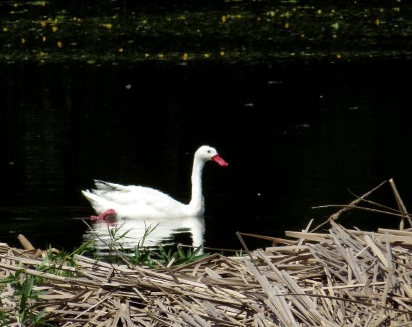 IMG_1987 Coscoroba Swan