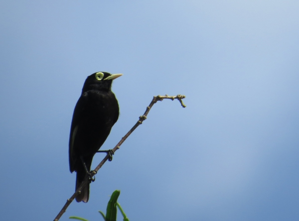 IMG_2001 Spectacled Tyrant