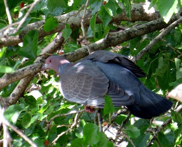 IMG_2005 Picazuro Pigeon