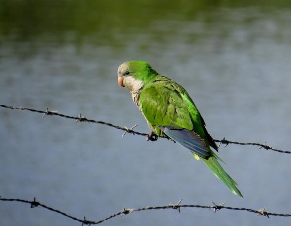 IMG_2009 Monk Parakeet