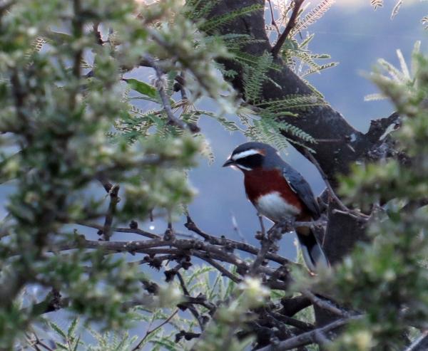 IMG_2179 Black & Rufous Warbling Finch