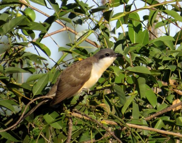 IMG_2263 Dark-billed Cuckoo