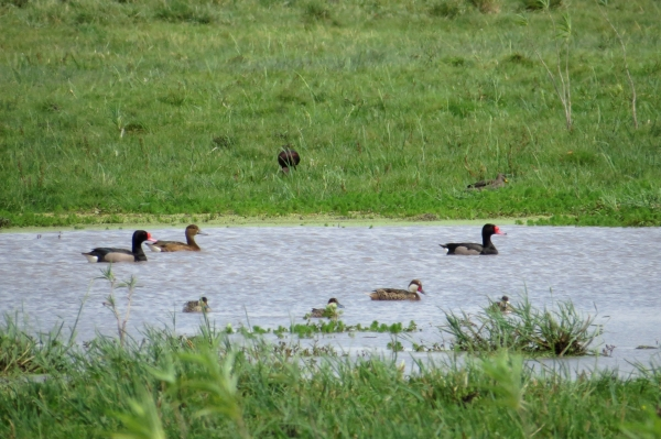 IMG_2363 Rosy Pochard, WC Pintail, Silver Teal, Speckled Duck, WF Ibis