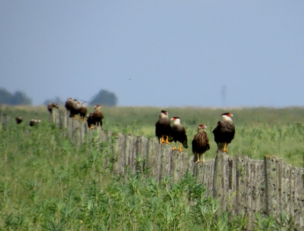 IMG_2395 Crested Caracaras