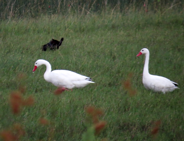 IMG_2408 Coscoroba Swans