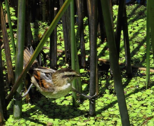 IMG_2555 Wren like Rushbird