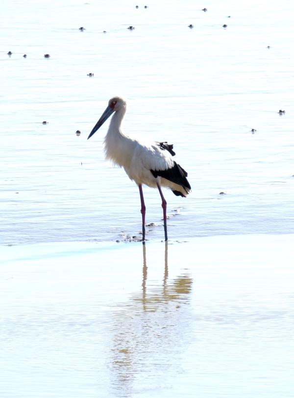 IMG_2579 Maguari Stork